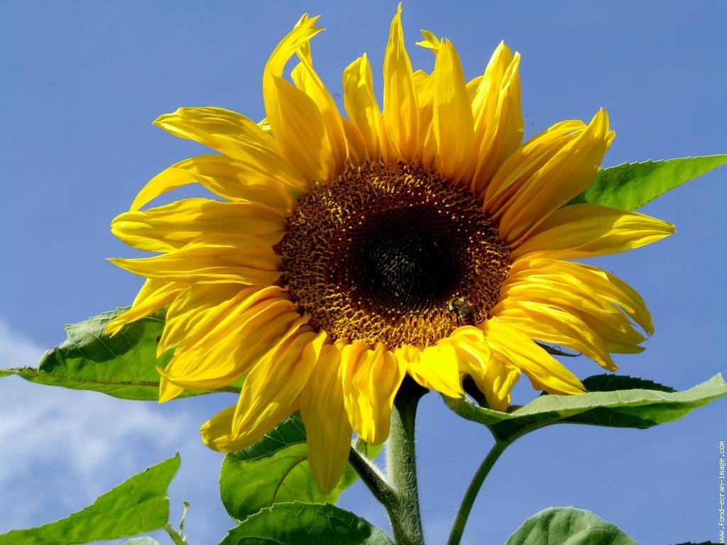 fleurtournesoldscf1610v